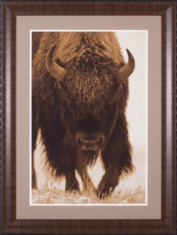 American Bison Portrait In Snow, North America